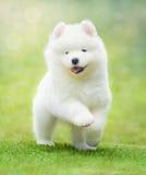 Valp av Samoyedhundspring på grönt gräs Royaltyfri Bild