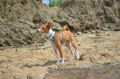 Valp Basenji på stranden Royaltyfri Bild