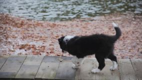 Valp border collie lager videofilmer