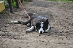 Valp Border collie, i att sova Royaltyfria Foton