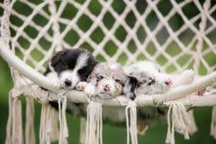 Valp border collie som för marmor tre sover i en vit hängmatta i natur arkivfoton
