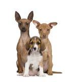 valp för beagleminiatyrpinschersstående arkivfoton