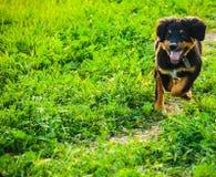 Valp för Burnese berghund royaltyfri fotografi