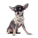 valp för chihuahuakragepärla Royaltyfri Foto