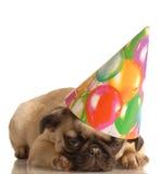 valp för födelsedaghattmops Royaltyfri Fotografi