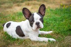 Valp för fransk bulldogg Arkivbilder