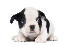 Valp för fransk bulldogg, 2 gamla månader fotografering för bildbyråer