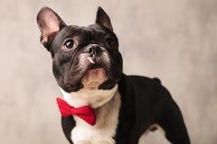 Valp för fransk bulldogg som bär en röd bowtie, medan se bort Arkivbilder