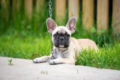 valp för fransk bulldogg som ner ligger arkivbild