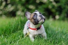 Valp för fransk bulldogg som ser upp med nyfiket uttryck arkivfoto