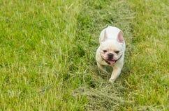 Valp för fransk bulldogg utomhus Arkivfoton