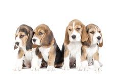 Valp för fyra beagle Arkivfoto