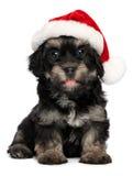 valp för gullig hund för jul havanese Arkivbild