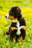 Valp för hund för Bernese berg (Berner Sennenhund) royaltyfri fotografi