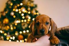 Valp för jul Fotografering för Bildbyråer