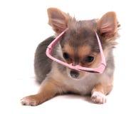 valp för klyftiga exponeringsglas för chihuahua rosa Arkivfoton