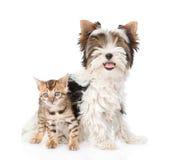 Valp för liten bengal katt och Biewer-Yorkshire terrier tillsammans Är Arkivbild