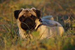 valp för mops för nipplar för mun för avelbarnhund Arkivbilder