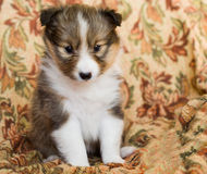 Valp för Shetland fårhund arkivbild
