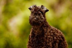 Valp för terrier för Kerryblue arkivbilder