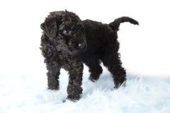 Valp för Terrier för KerryBlue fotografering för bildbyråer