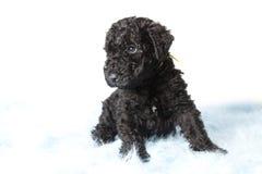 Valp för Terrier för KerryBlue royaltyfri bild