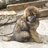 Valp för tibetan mastiff royaltyfri fotografi