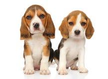 Valp för två beagle på en vit bakgrund fotografering för bildbyråer