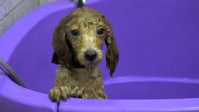 Valp för tvagninghundpudel i badrummet stock video