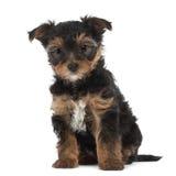 Valp för Yorkshire Terrier, 7 gammala som veckor sitter Arkivbilder