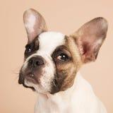 Valp för fransk bulldogg Arkivfoto
