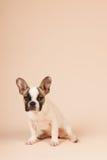 Valp för fransk bulldogg Arkivbild