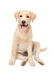 Valp för Labrador retriever Arkivfoton