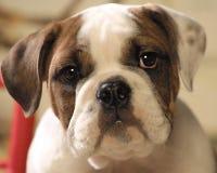 valp för tjurhundframsida Royaltyfri Foto