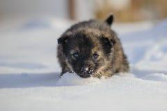 Valp i snowen Arkivfoto
