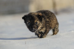 Valp i snowen Fotografering för Bildbyråer