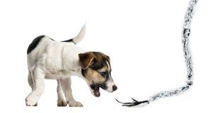 Valp Jack Russell Terrier som spelar med ett rep, 4 gamla månader Arkivfoton