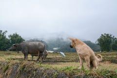 Valp med buffeln i risterrassfält i Mae Klang Luang, Chiang Mai, Thailand Arkivfoton