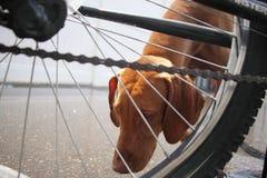 Valp och cykel Arkivbild