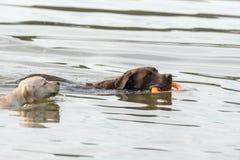 Valp- och vuxen människahundlek i vatten Fotografering för Bildbyråer