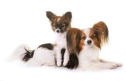 Valp- och vuxen människapappillonhund royaltyfri bild