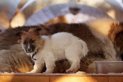 Valp på en bakgrund av en vuxen hund i vinter royaltyfria bilder