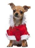 valp santa för chihuahuapåklädddräkt Royaltyfria Foton