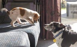 Valp som retar den äldre hunden från soffan royaltyfri foto
