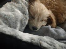 Valp som sover i säng Arkivfoto