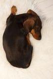 Valp som sover på päls Royaltyfri Fotografi