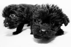 Valp två. hundkapplöpning arkivfoto