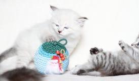 Valpar av den siberian katten med julbollen Royaltyfria Bilder