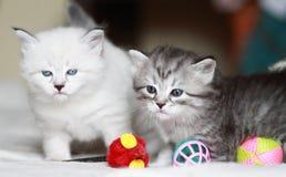 Valpar av den siberian katten på en månad Royaltyfria Foton