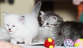 Valpar av den siberian katten på en månad Arkivfoton